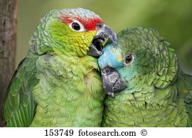 Red-lored Parrot clipart #9, Download drawings