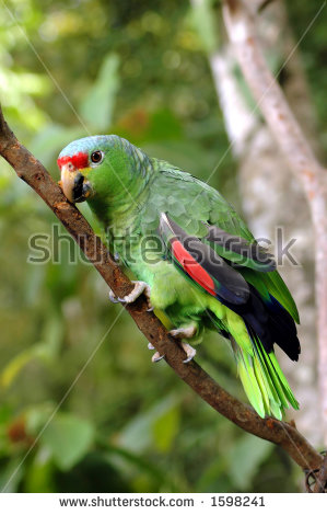 Red-lored Parrot clipart #5, Download drawings