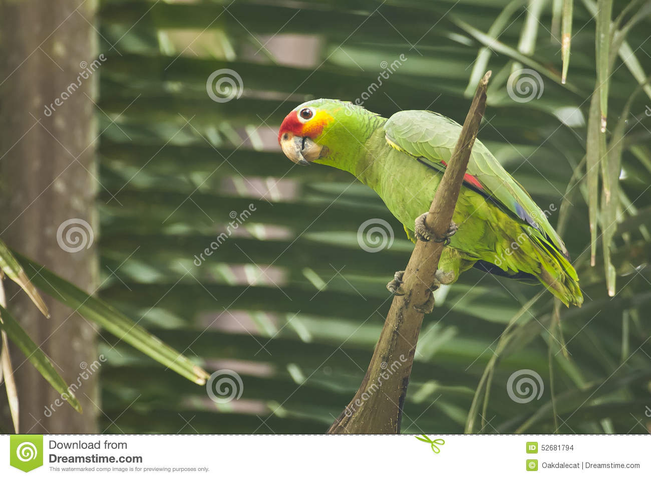 Red-lored Parrot clipart #3, Download drawings