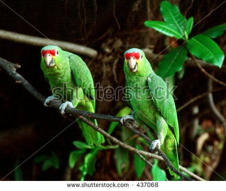 Red-lored Parrot clipart #2, Download drawings