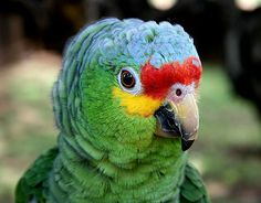 Red-lored Parrot clipart #1, Download drawings