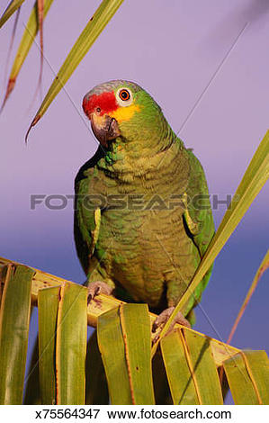 Red-lored Parrot clipart #4, Download drawings