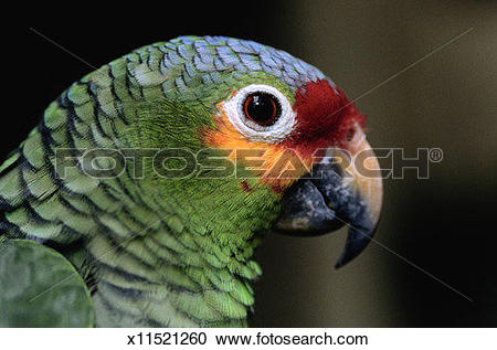 Red-lored Parrot clipart #8, Download drawings