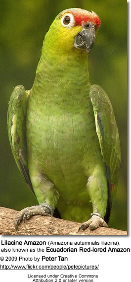 Red-lored Parrot coloring #3, Download drawings