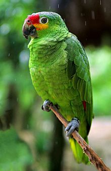 Red-lored Parrot coloring #7, Download drawings