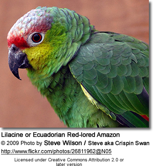 Red-lored Parrot coloring #2, Download drawings