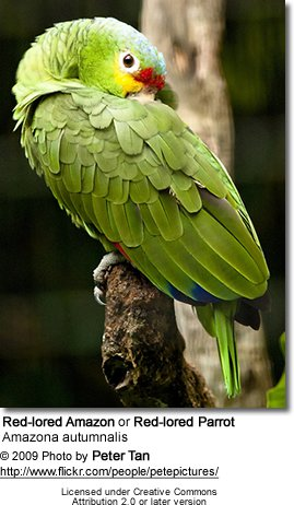 Red-lored Parrot coloring #1, Download drawings