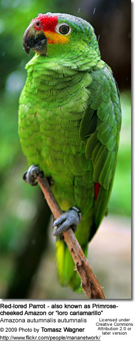 Red-lored Parrot coloring #19, Download drawings