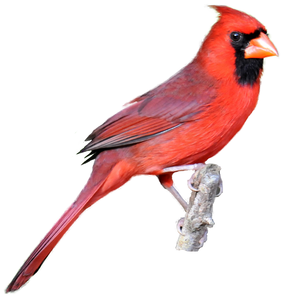 Red-masked Finch clipart #5, Download drawings