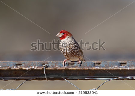 Red-masked Finch clipart #6, Download drawings
