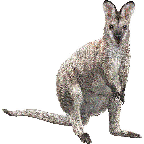 Red-necked Wallaby clipart #7, Download drawings