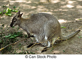 Red-necked Wallaby clipart #10, Download drawings