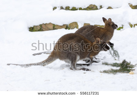 Red-necked Wallaby clipart #12, Download drawings