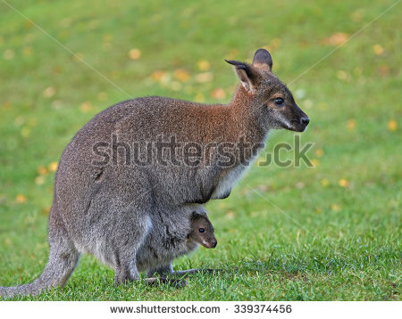 Red-necked Wallaby clipart #9, Download drawings