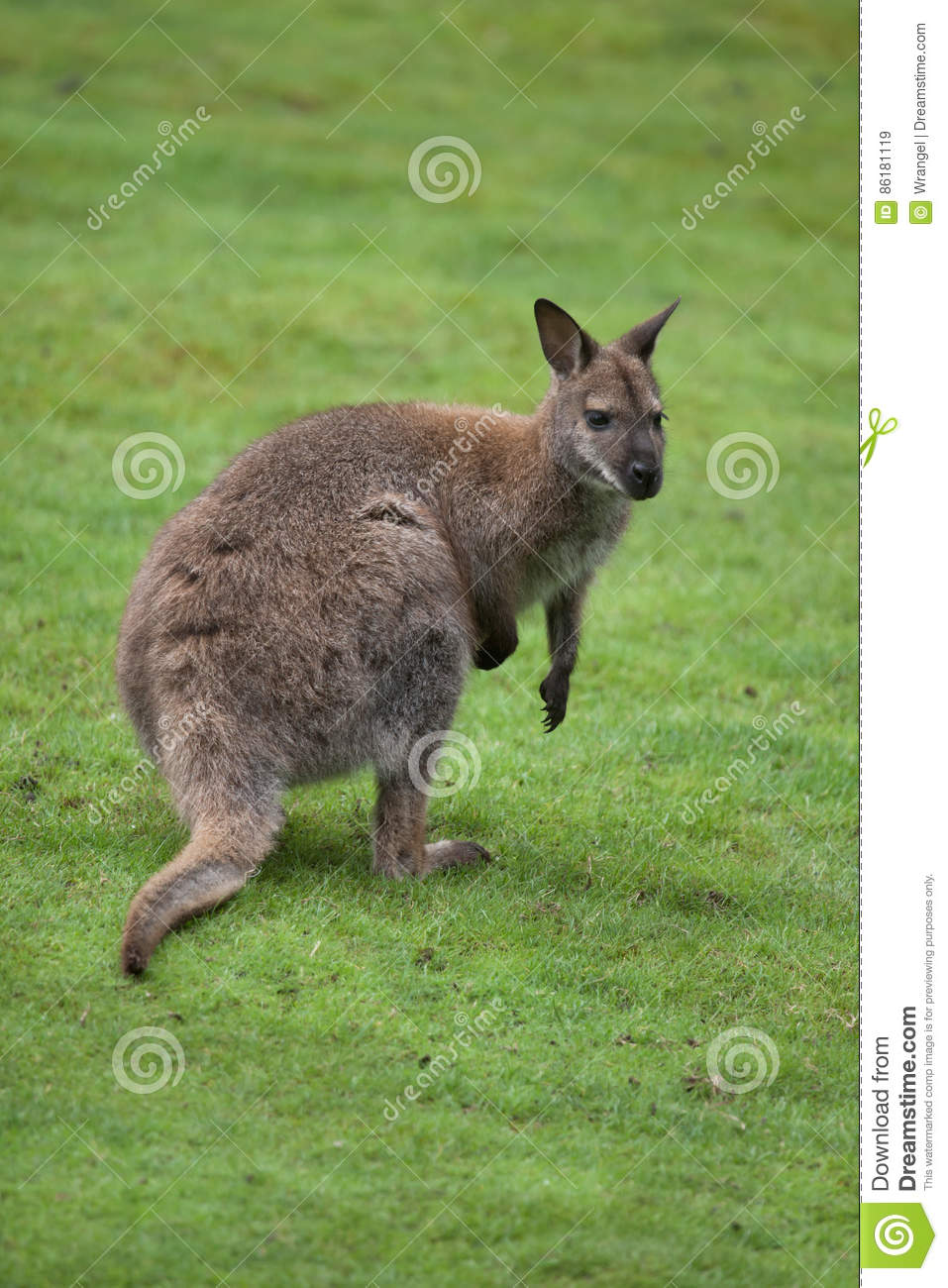 Red-necked Wallaby clipart #8, Download drawings