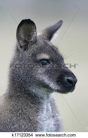 Red-necked Wallaby clipart #14, Download drawings