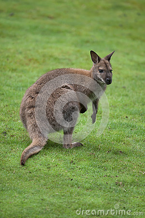 Red-necked Wallaby clipart #6, Download drawings