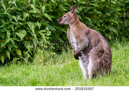 Red-necked Wallaby clipart #2, Download drawings