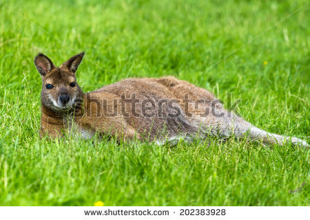Red-necked Wallaby clipart #3, Download drawings