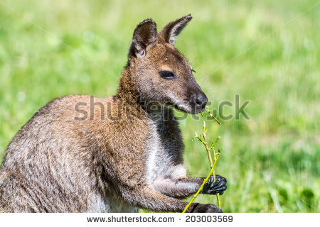 Red-necked Wallaby clipart #16, Download drawings