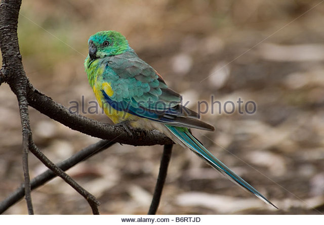 Red-rumped Parrot clipart #13, Download drawings