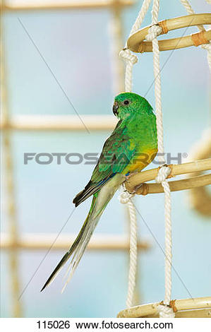 Red-rumped Parrot clipart #16, Download drawings