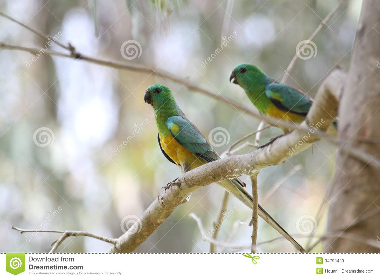 Red-rumped Parrot clipart #15, Download drawings