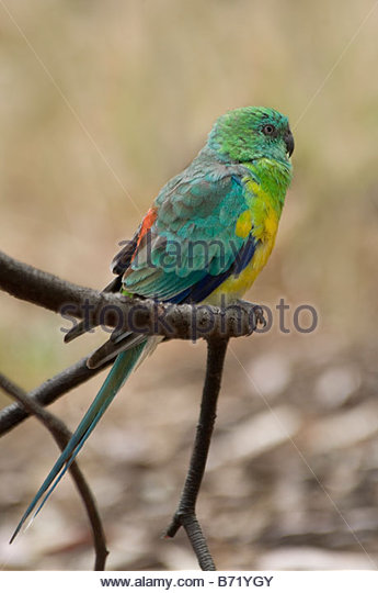 Red-rumped Parrot clipart #12, Download drawings