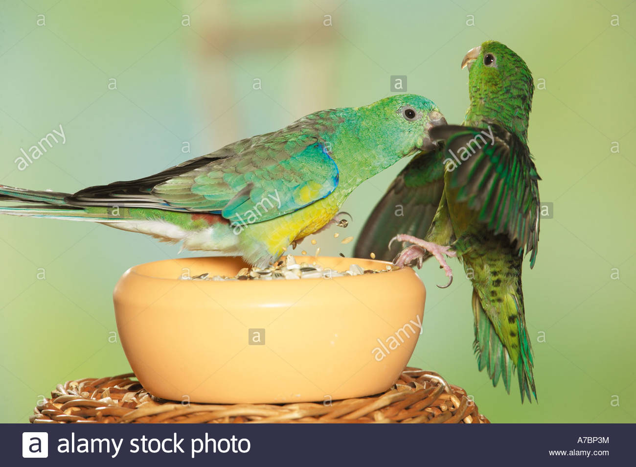Red-rumped Parrot clipart #7, Download drawings