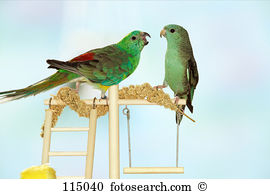 Red-rumped Parrot clipart #11, Download drawings