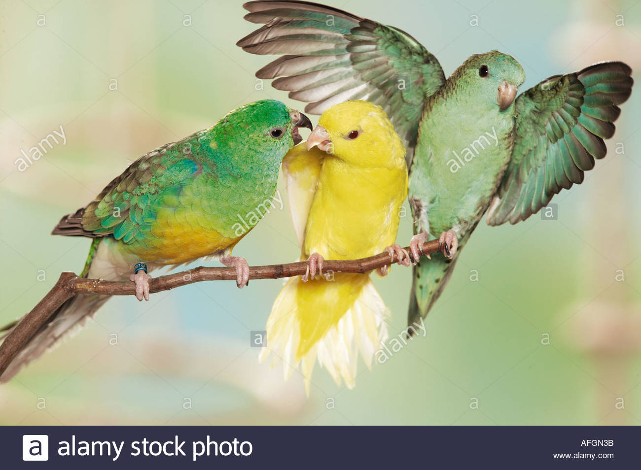 Red-rumped Parrot clipart #18, Download drawings