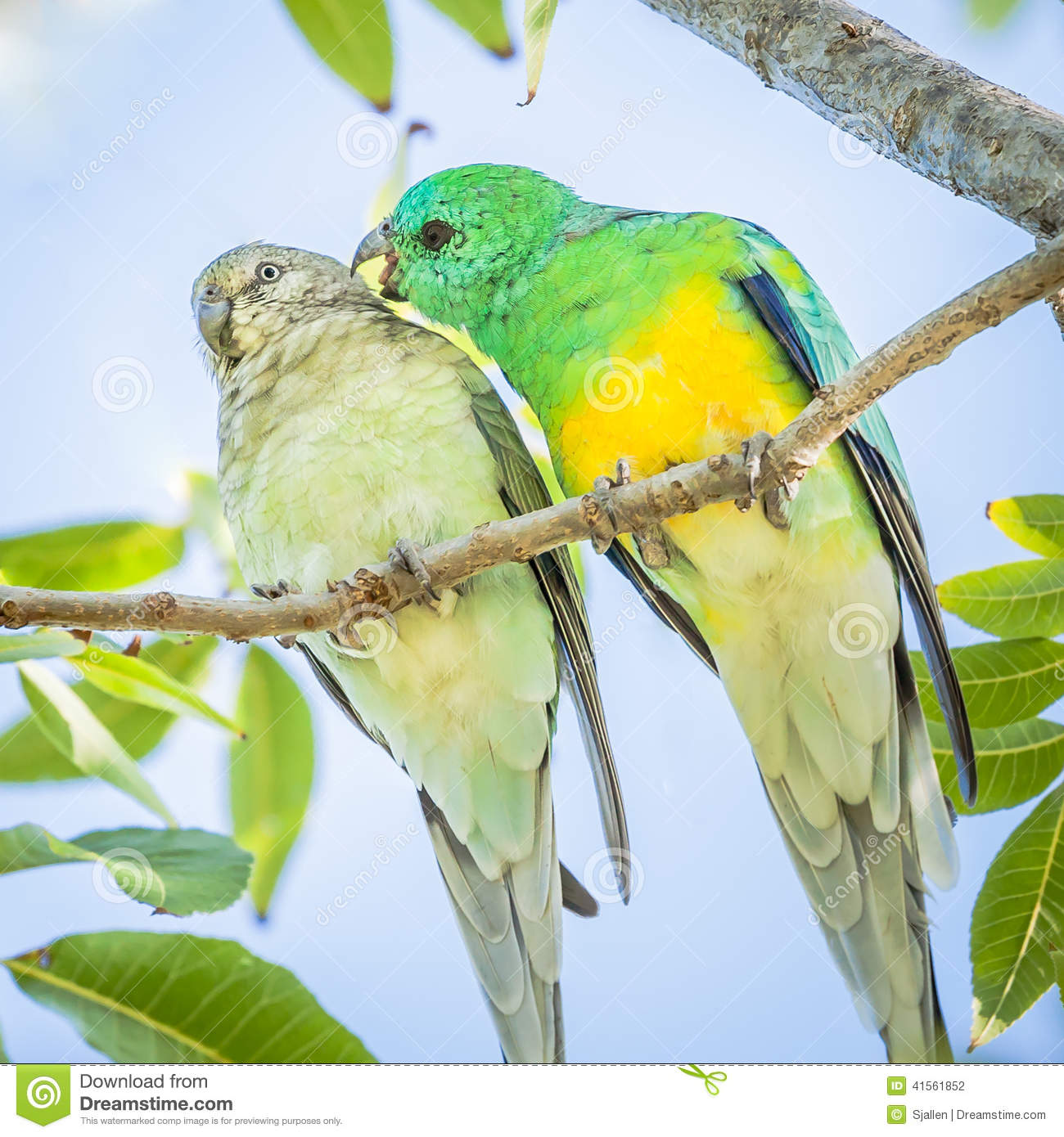 Red-rumped Parrot clipart #20, Download drawings