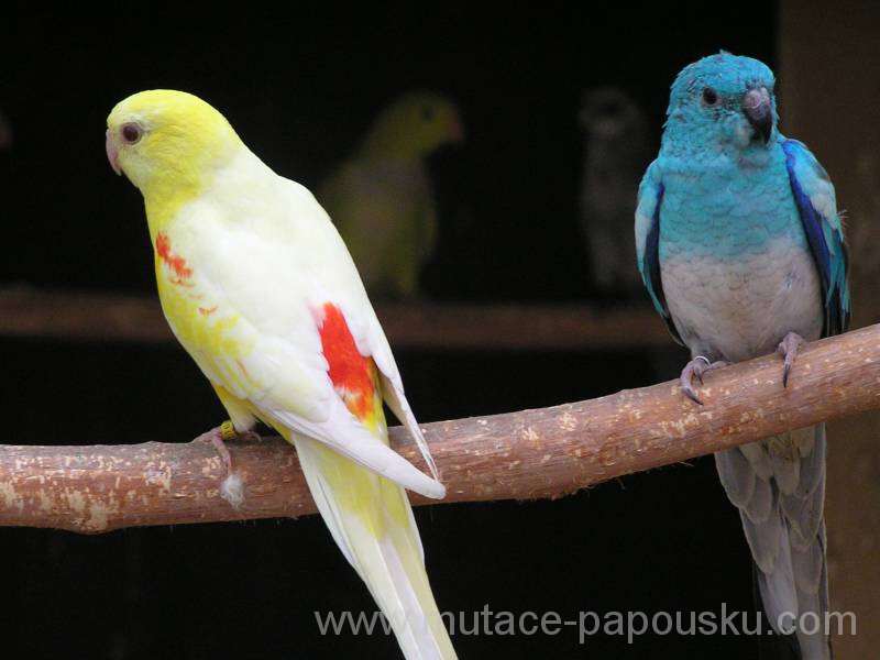 Red-rumped Parrot clipart #8, Download drawings