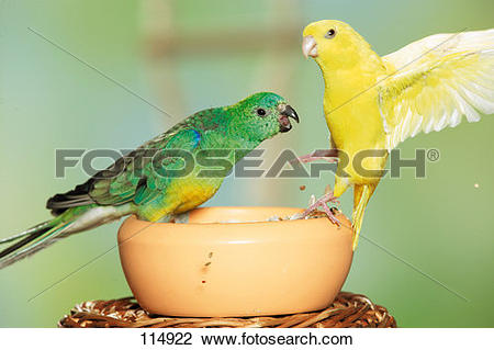 Red-rumped Parrot clipart #19, Download drawings