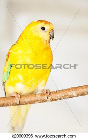 Red-rumped Parrot clipart #14, Download drawings