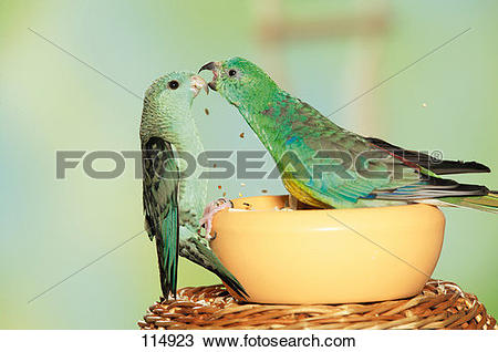 Red-rumped Parrot clipart #17, Download drawings