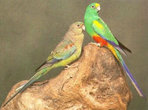 Red-rumped Parrot coloring #4, Download drawings