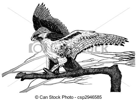 Red-tailed Hawk clipart #9, Download drawings