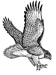 Red-tailed Hawk clipart #7, Download drawings