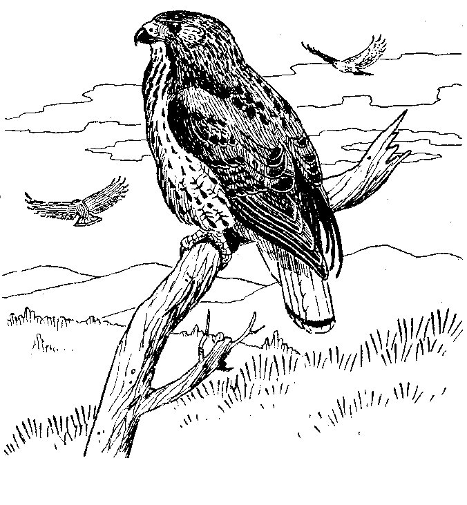 Red-tailed Hawk coloring #16, Download drawings