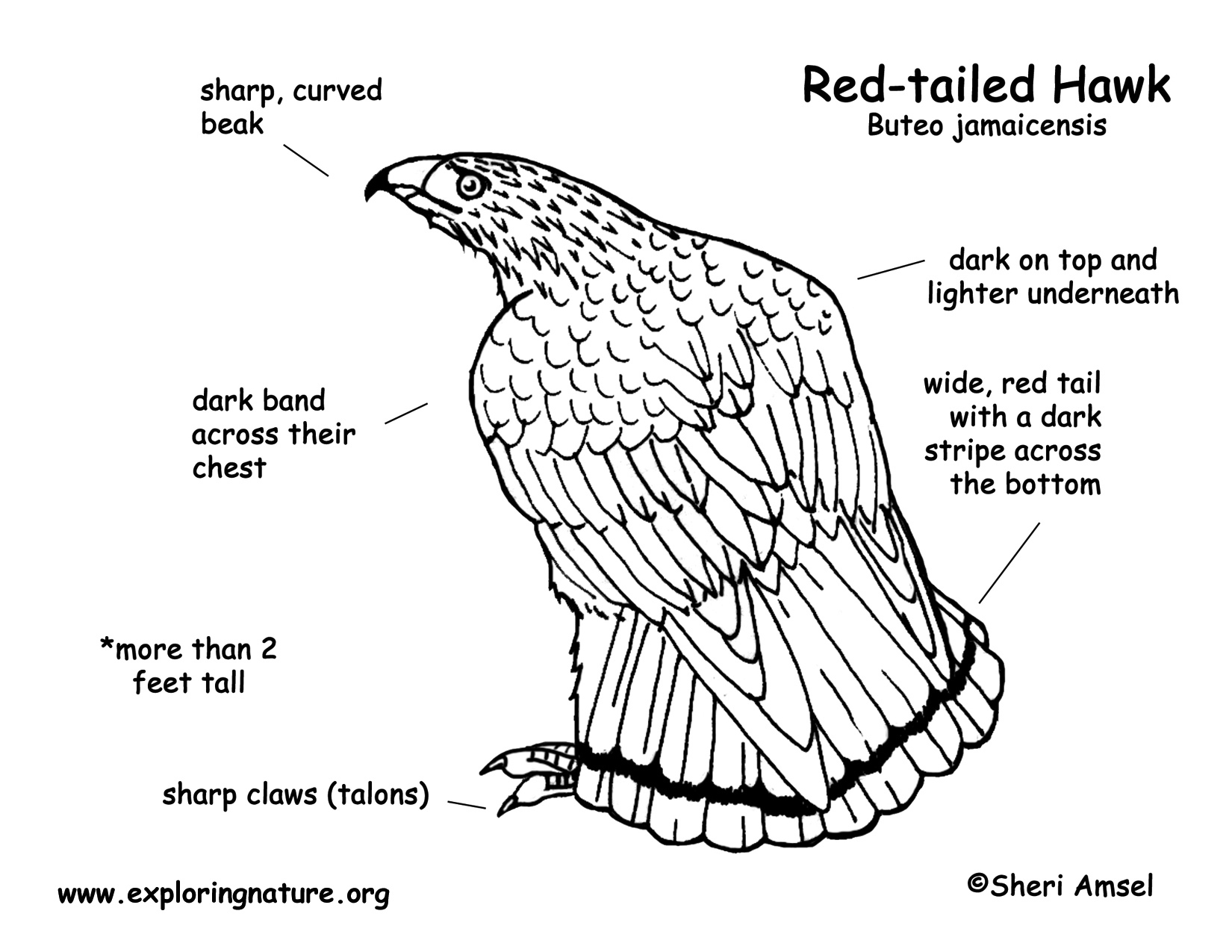 Red-tailed Hawk coloring #13, Download drawings
