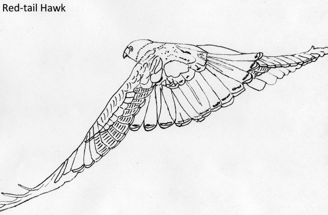 Red-tailed Hawk coloring #2, Download drawings