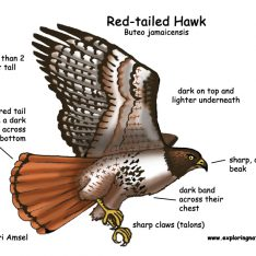 Red-tailed Hawk coloring #14, Download drawings