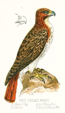 Red-tailed Hawk svg #1, Download drawings