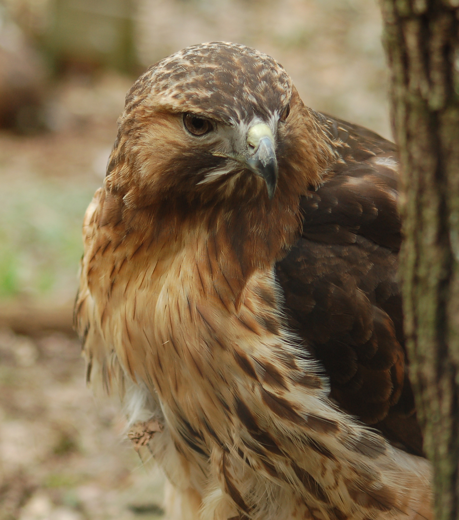 Red-tailed Hawk svg #13, Download drawings
