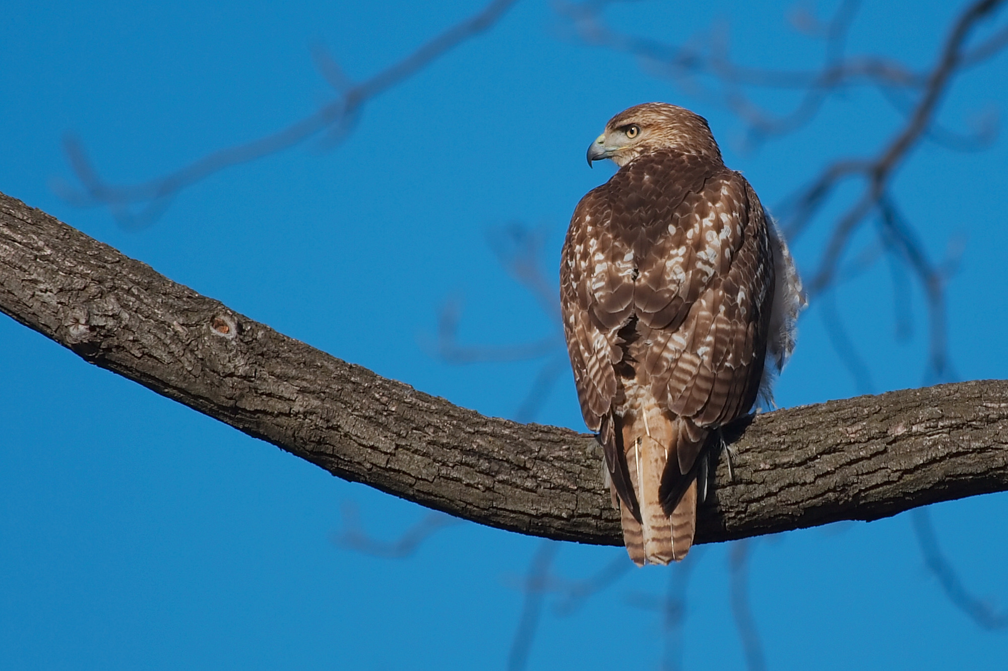 Red-tailed Hawk svg #12, Download drawings