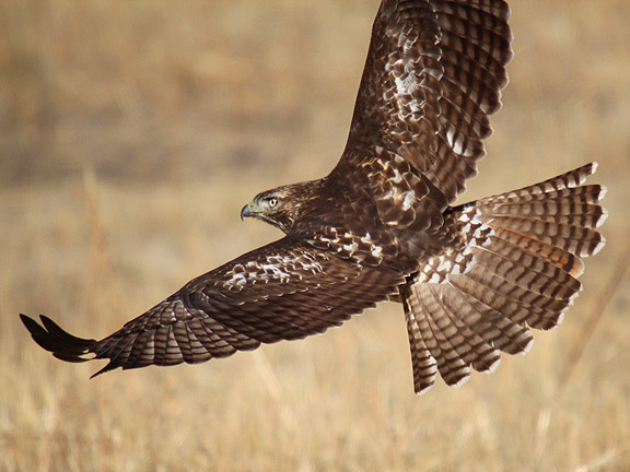 Red-tailed Hawk svg #9, Download drawings