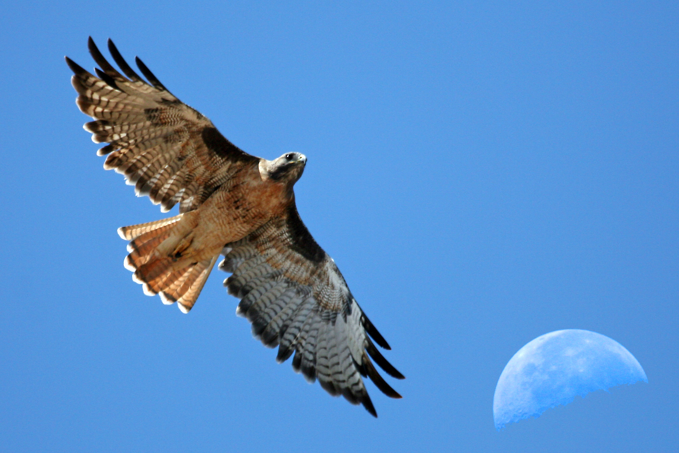 Red-tailed Hawk svg #19, Download drawings