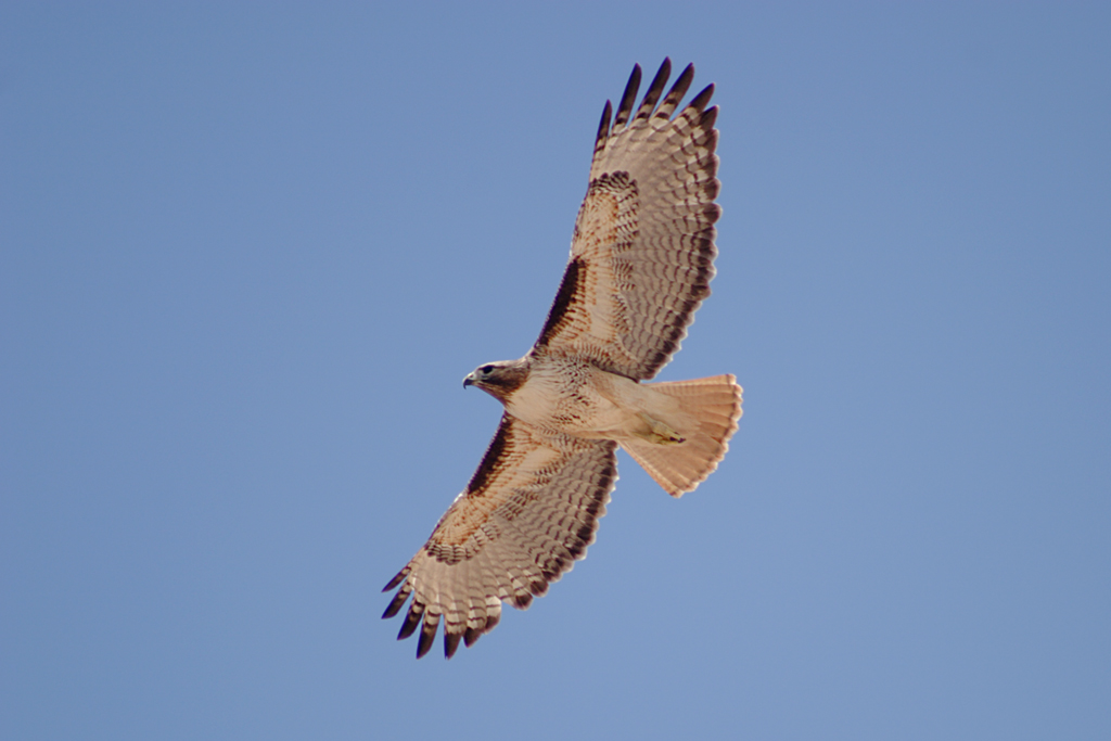 Red-tailed Hawk svg #20, Download drawings