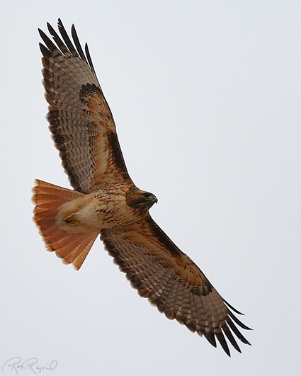 Red-tailed Hawk svg #15, Download drawings